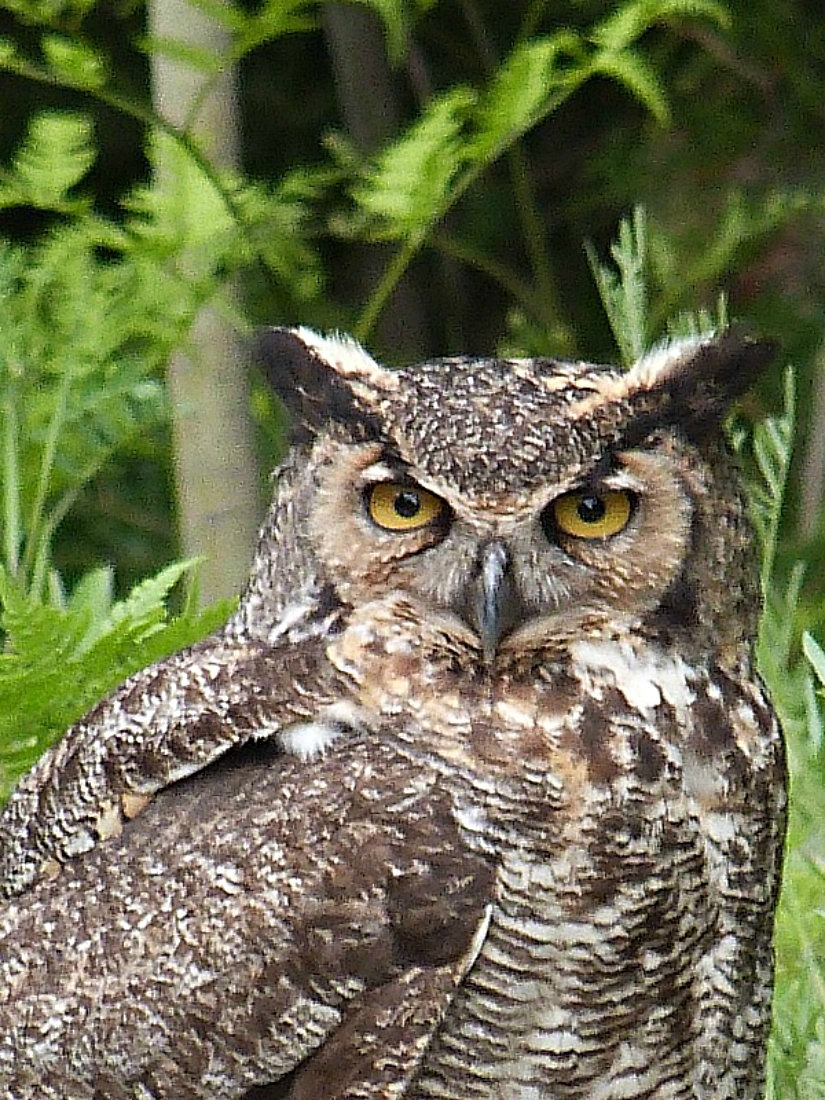 Great Horned Owl in Bruce Peninsula National Park in Ontario