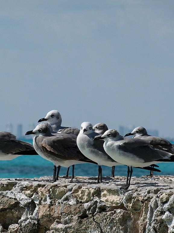 Seagulls on Isla Mujeres, Yucatan Peninsula, Mexico