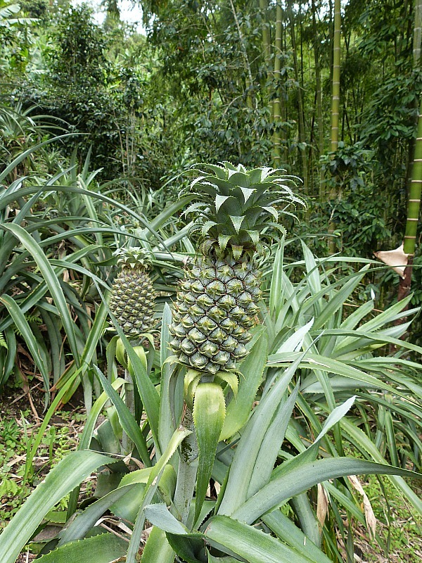 Pineapples growing in Salento in Colombia's Coffee Region