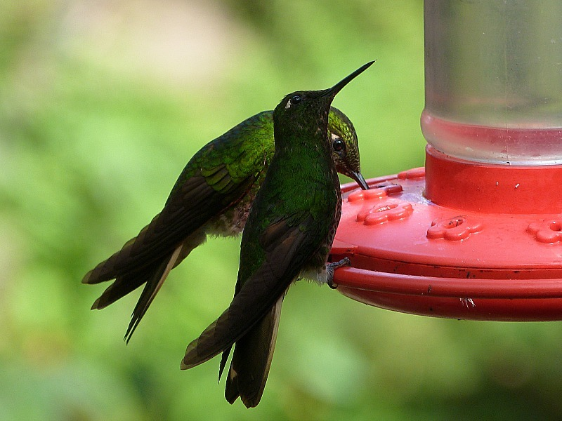 Hummingbirds in the Valle de Cocora in Colombia's Coffee Region