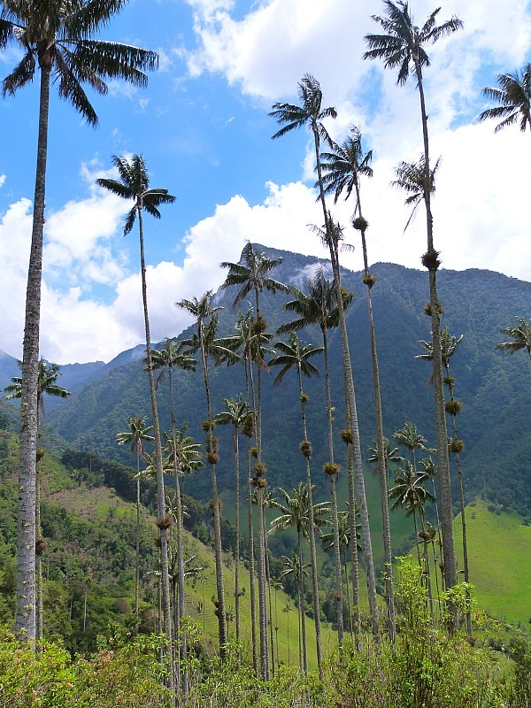 Tall palm trees in the Valle de Cocora in Colombia's Coffee Region