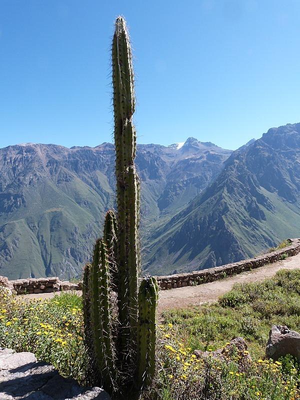 Cactus in the Colca Canyon, Peru