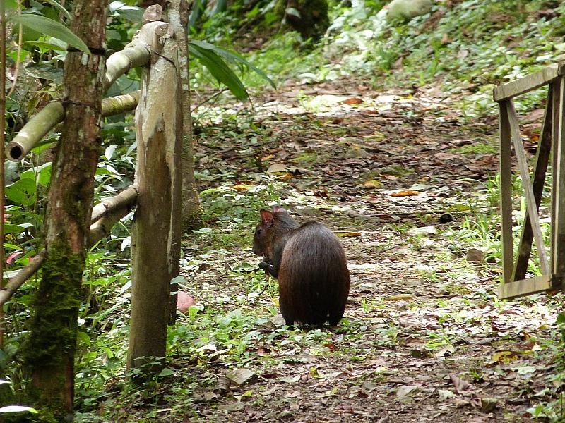 Capybara in Coroico, Bolivia