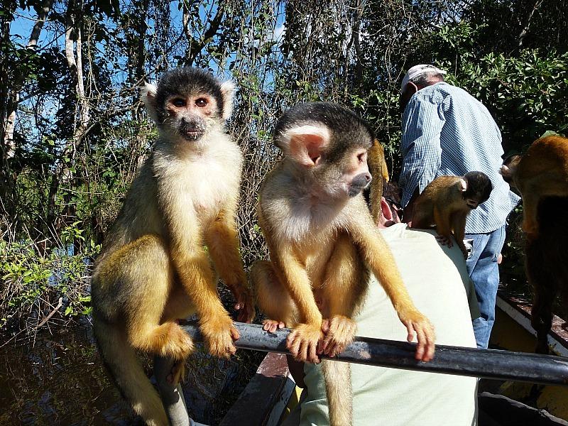 Squirrel Monkeys in the Amazon Basin of Bolivia