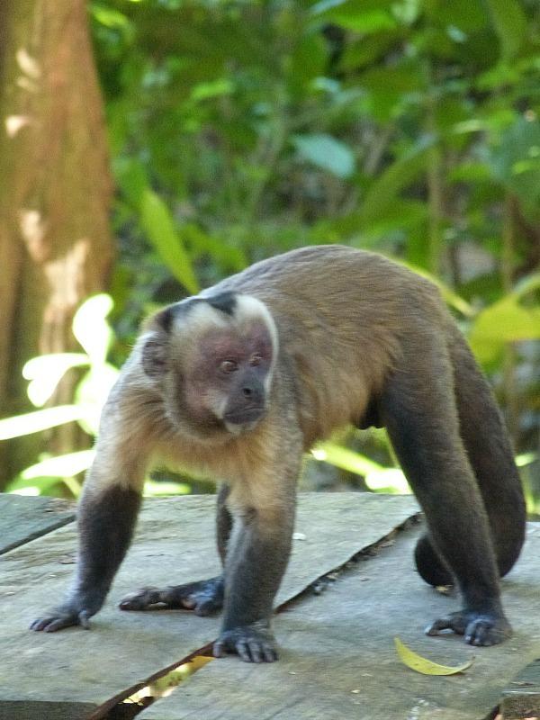 Cappuccino Monkey in the Amazon Basin of Bolivia