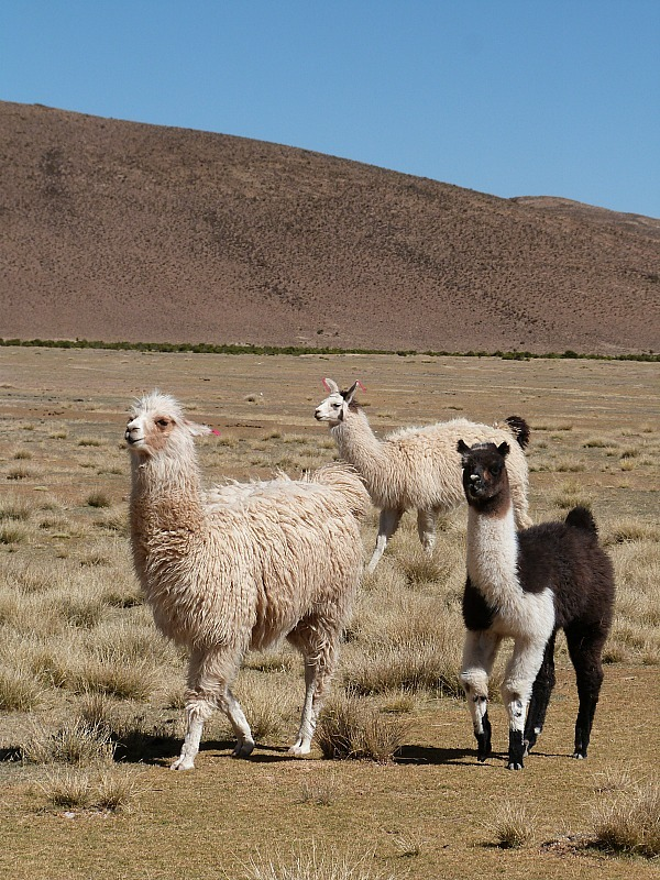 Llamas in south west Bolivia
