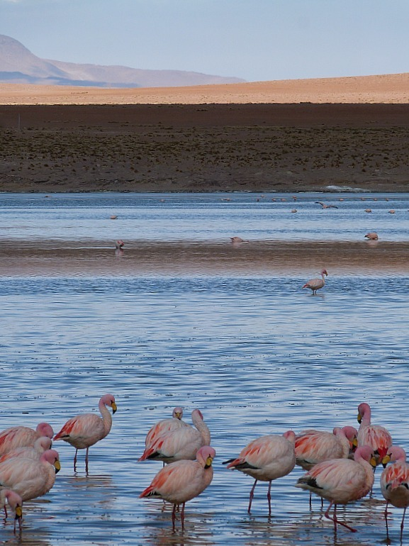 Flamingos in south west Bolivia