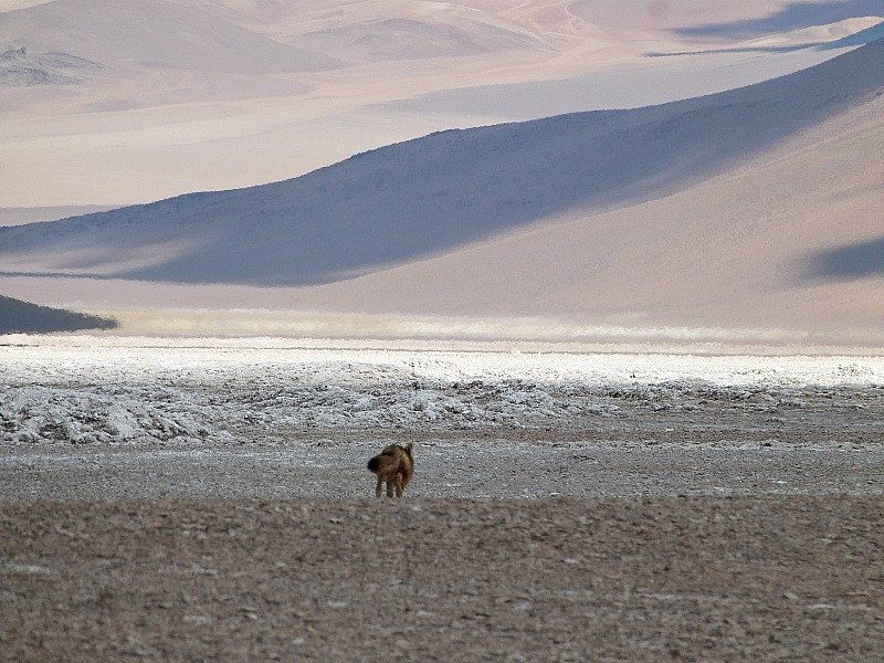 Fox in remote South West Bolivia