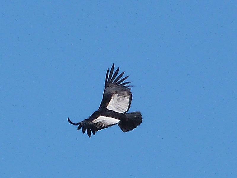 Andean condor near Cachi, Northern Argentina