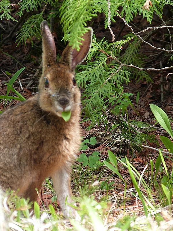 Rabbit in Bruce Peninsula National Park in Ontario