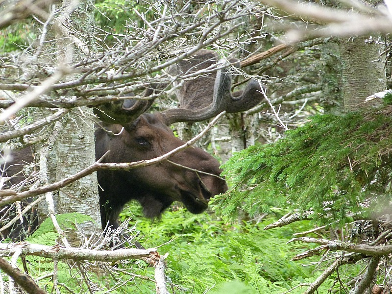 Moose in Cape Breton Highlands National Park, Nova Scotia