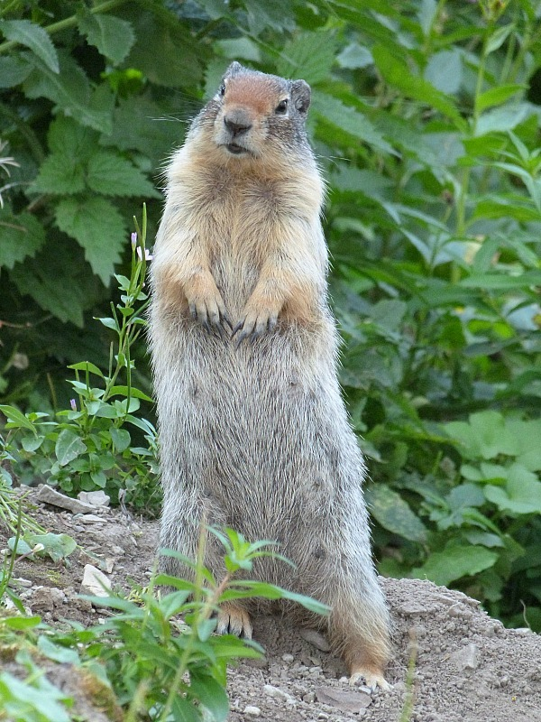 Marmot in Glacier National Park in Montana - a Rocky Mountain Road Trip must
