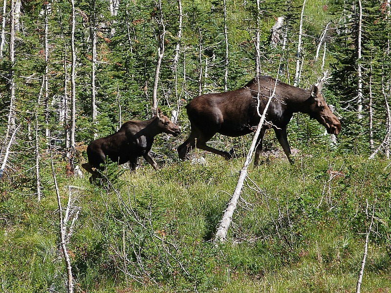 Moose in Glacier National Park in Montana - a Rocky Mountain Road Trip must
