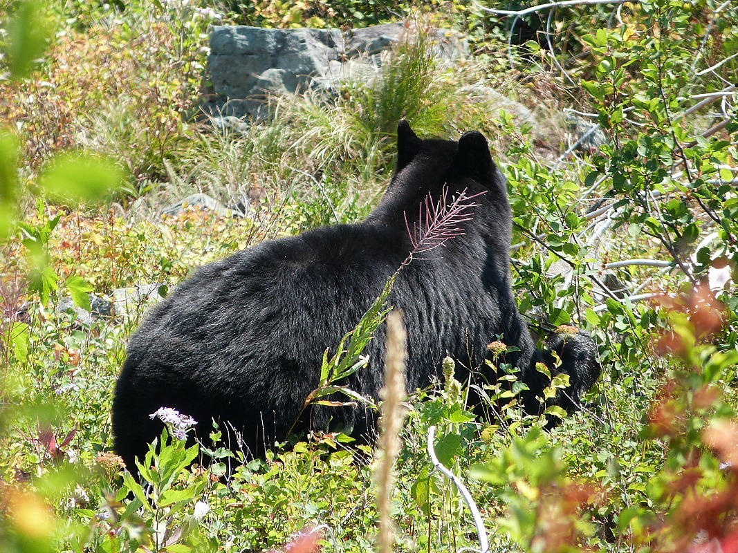Black bear in Glacier National Park in Montana - a Rocky Mountain Road Trip must
