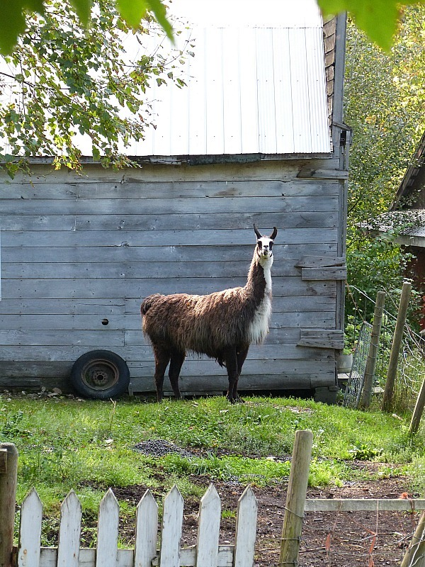 The llamas of the Squilax HI Hostel where I did a Help X Placement in Canada