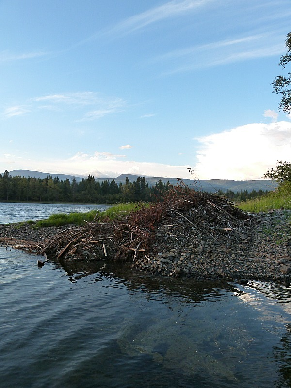 Beaver Dam near the Squilax Hostel in the Shuswap Lake Region of British Columbia