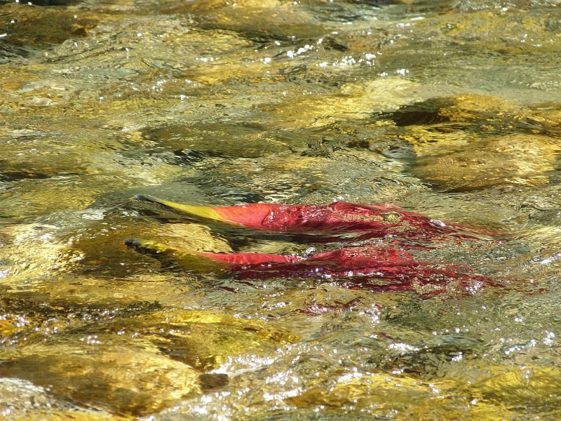 Watching the salmon run at Scotch Creek in the Shuswap Lake Region of British Columbia