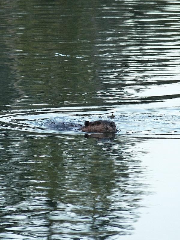 Beaver at Shuswap Lake in British Columbia, Canada