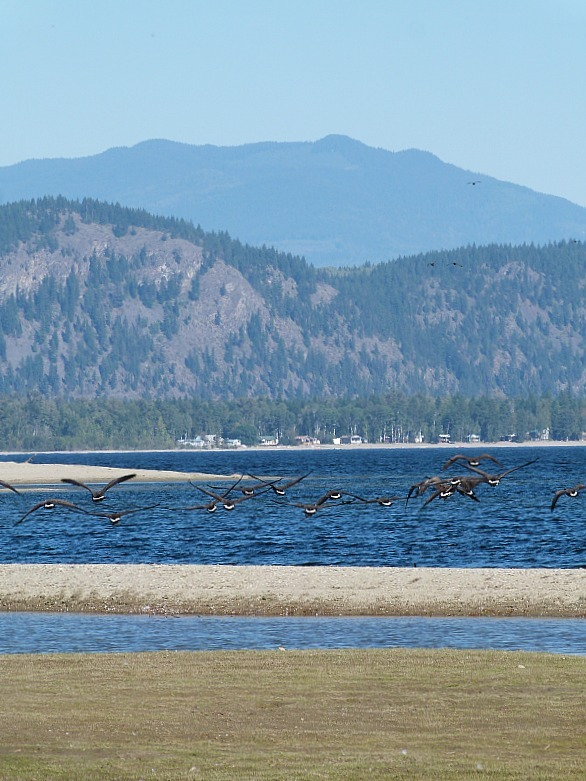 Canada Geese on Little Shuswap Lake in Chase, British Columbia