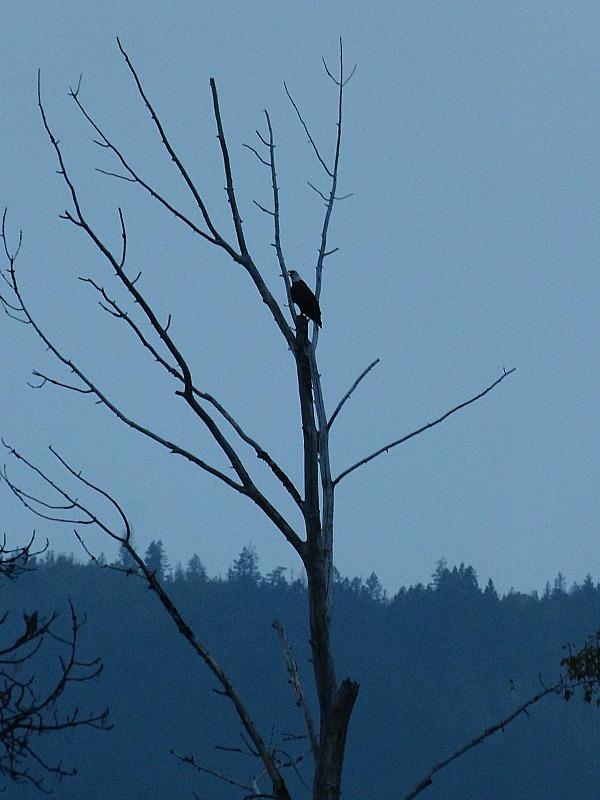 Bald Eagle at Shuswap Lake in British Columbia, Canada