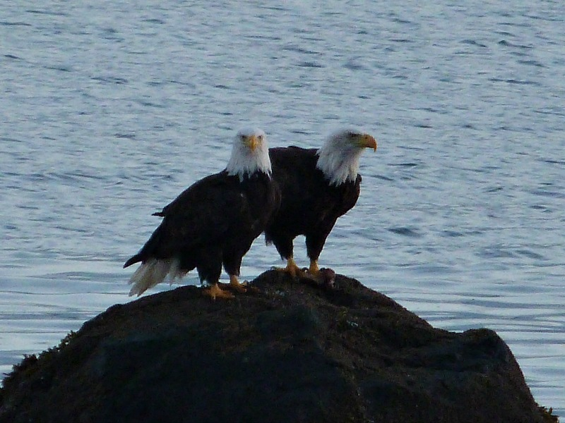 Watching bald eagles from our boathouse on Quadra Island Canada