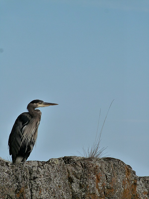 Heron in Heriot Bay, Quadra Island