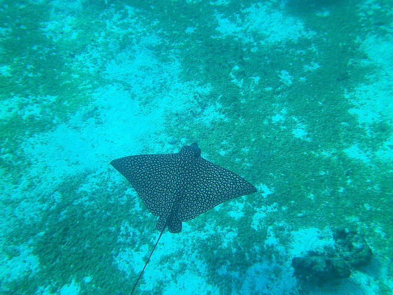 Spotted Eagle ray on a snorkeling tour of Belize Barrier Reef off Caye Caulker