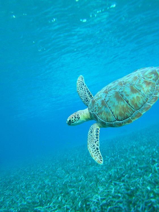 Turtle off Caye Caulker, Belize