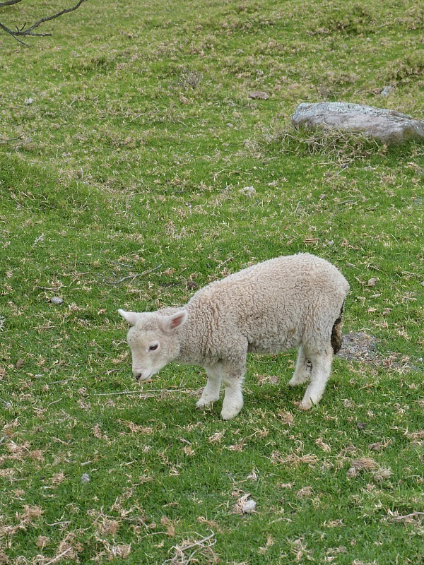 Lamb spotting in Cornwall Park - one of the best ways to spend Auckland in a day
