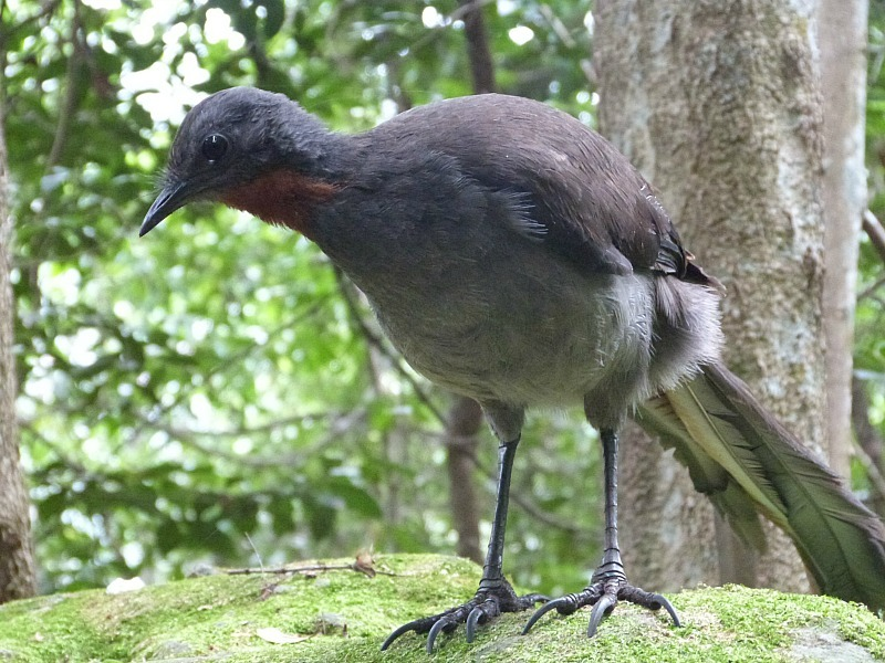 Finding a lyrebird on one of the Blue Mountains walking tracks in Australia