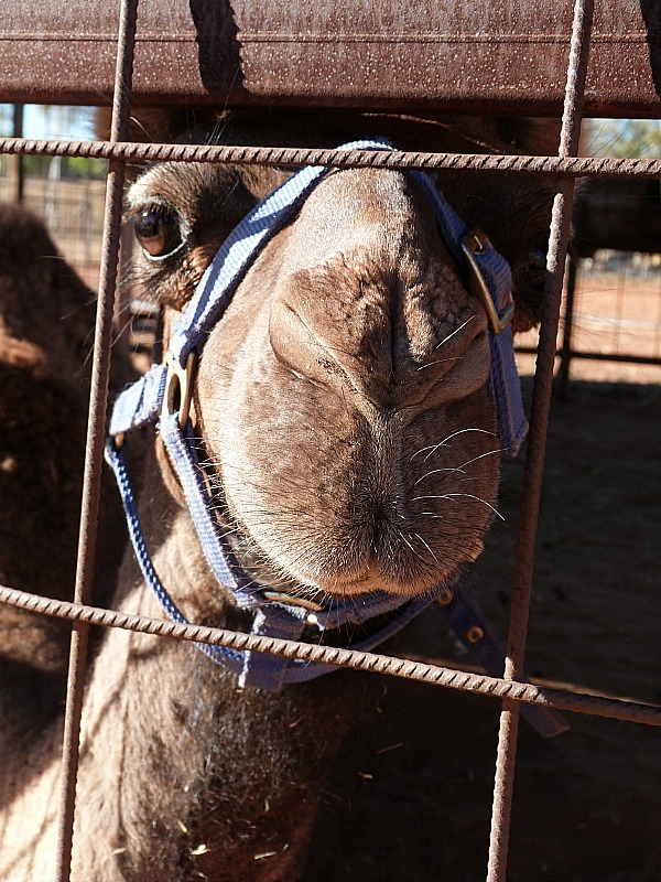 Camel at a Camel Farm near Uluru in the Australian Outback