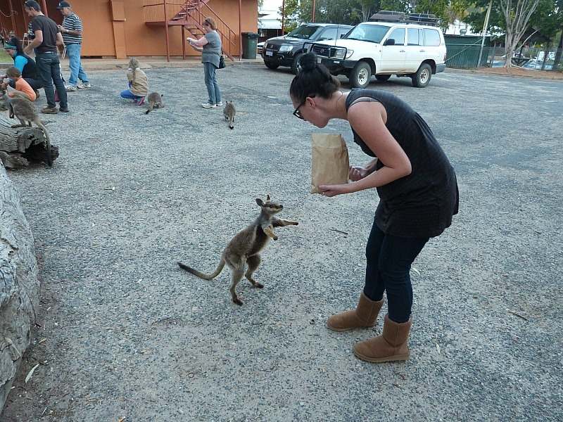 Feeding black-footed rock wallabies in Alice Springs, Australia