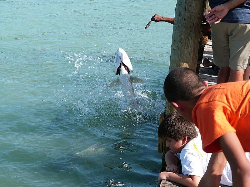 Feeding tarpon at Robbie's Marina in the Florida Keys