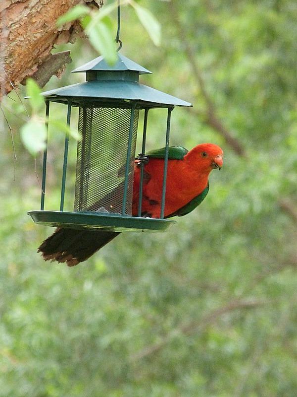 Local birds in Bellingen, Australia