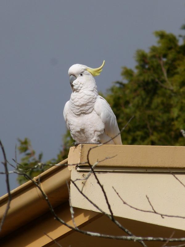 Local birdlife in Katoomba, the Blue Mountains