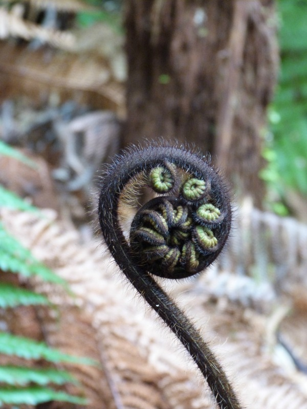 Fern fronds on the Hillary Trail on Auckland's West Coast