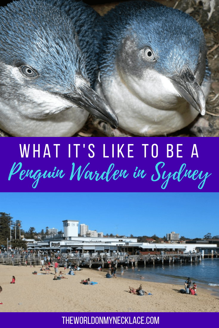 What it's like to be a Penguin Warden in Sydney