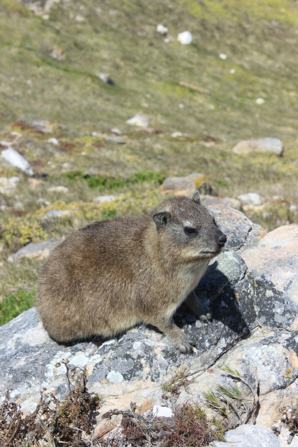 Dassie at the Cape of Good Hope in South Africa