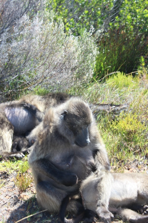 Baboons at the Cape of Good Hope, South Africa