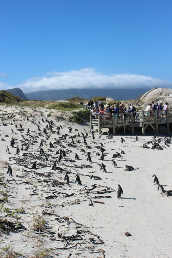 Boulder Bay penguins in Simon's Town - one of the coastal villages of Cape Town