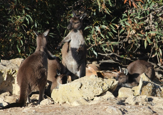 Fighting Kangaroos on Kangaroo Island