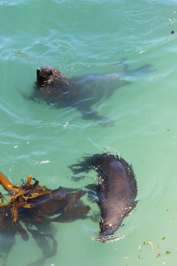 Hout Bay seals in Hout Bay South Africa