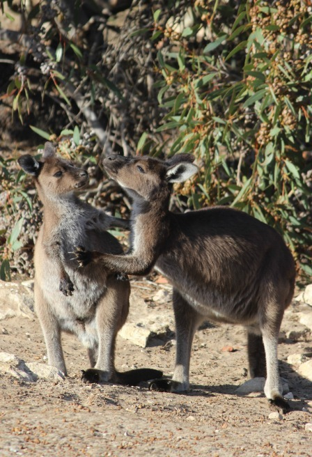 Kissing Kangaroos on Kangaroo Island
