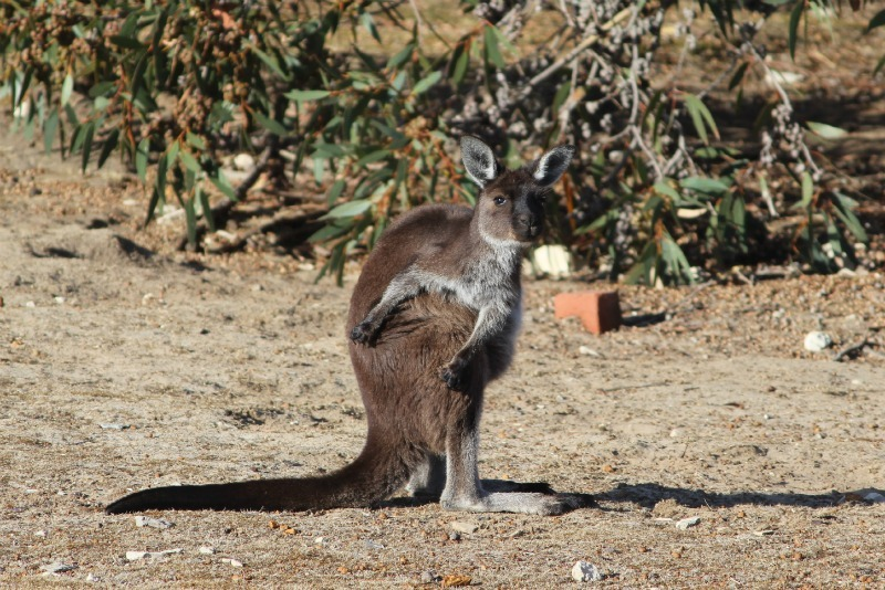 Wallaby at Cape Borda on Kangaroo Island