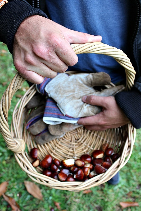 Collecting chestnuts in Mount Wilson