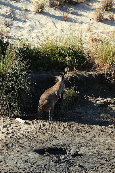 Kangaroo spotting on a Kangaroo Island wilderness walk