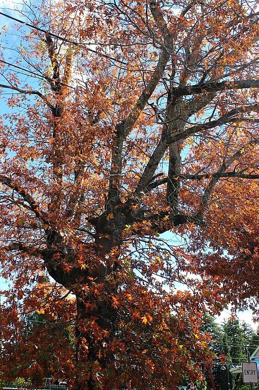 Autumn colours in the Blue Mountains of Australia