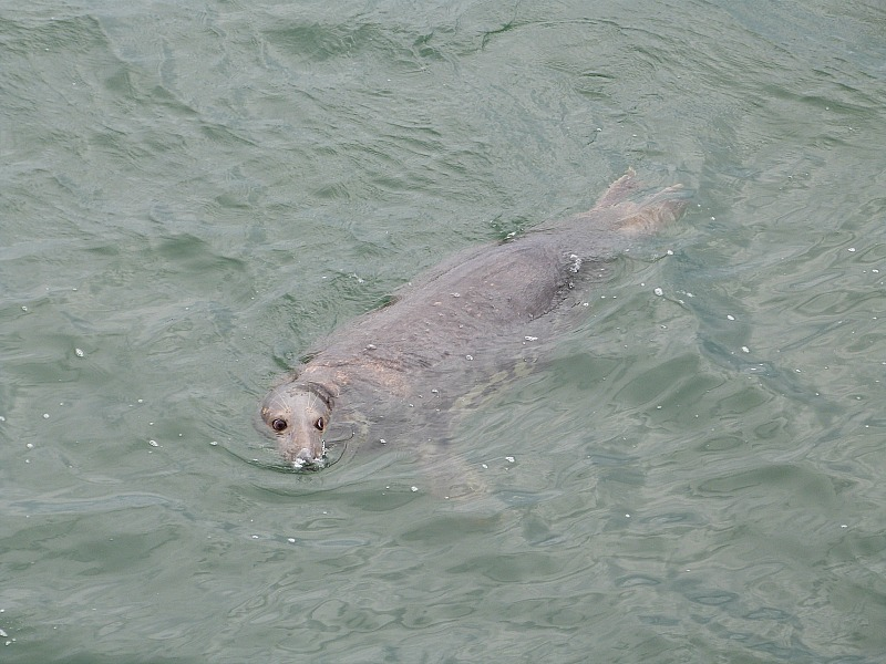 Seal in Chatham, Cape Cod