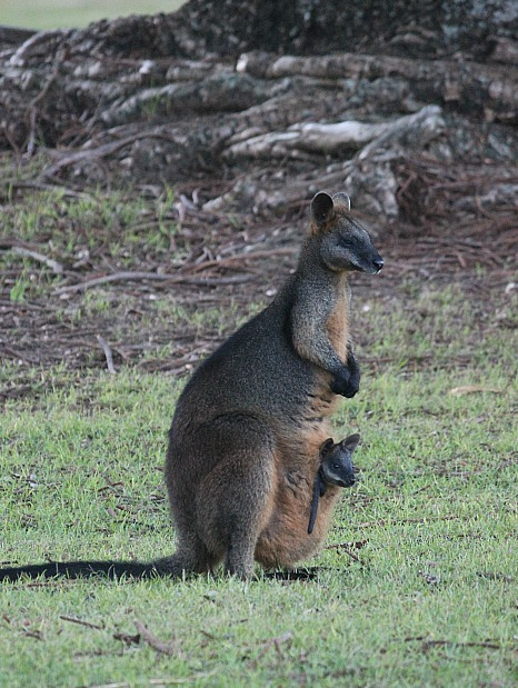 Wallaby and baby in the Basin near Sydney