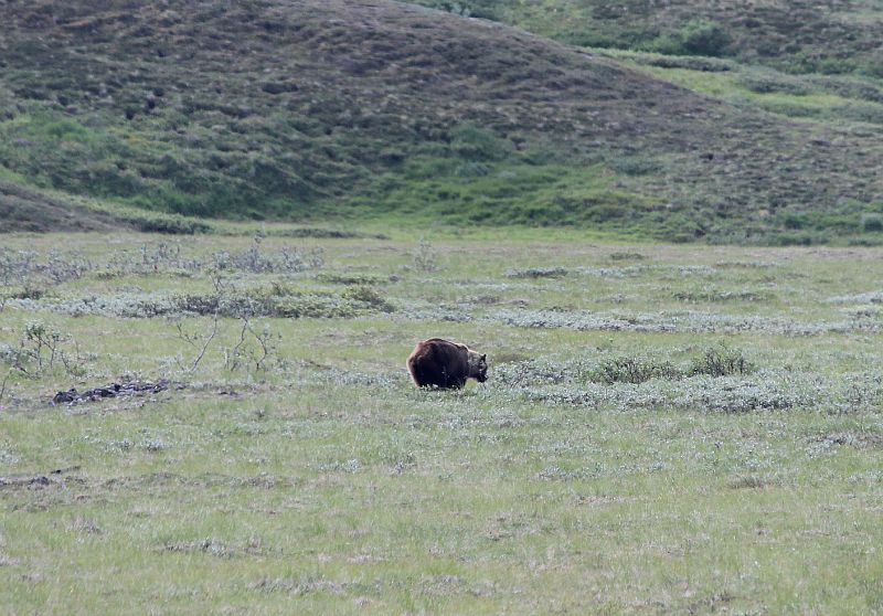 Spotting grizzly bears in Denali National Park during month one of digital nomad life